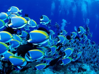 ocean seas underwater saltwater fish powder blue tang fish 1600x1200 wallpaper_www.wallpaperhi.com_31